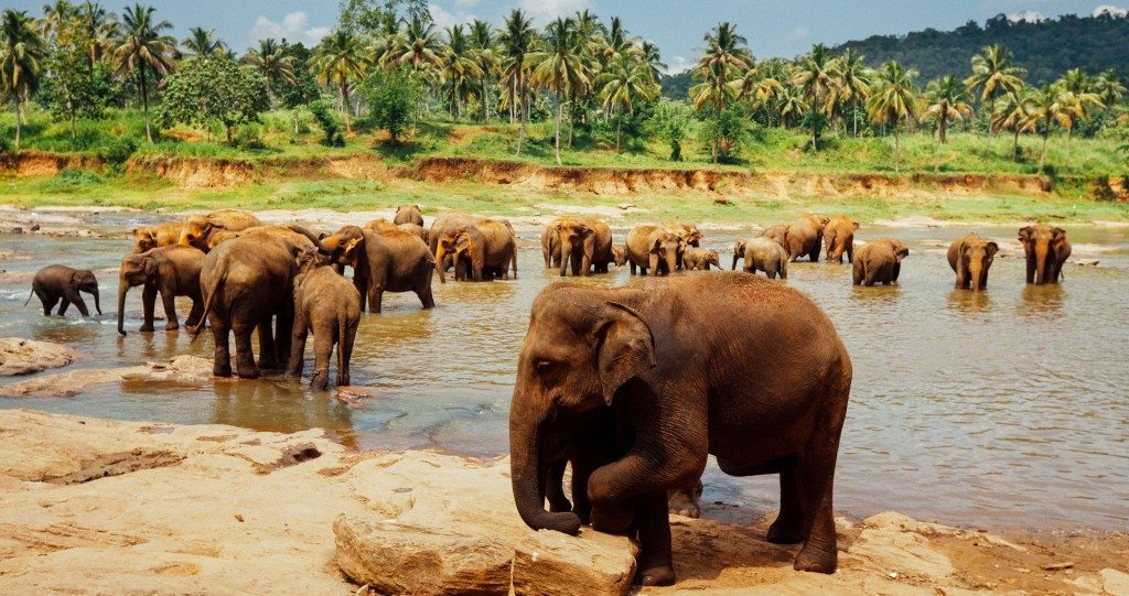 Elephants cooling down in a stream, Sri Lanka