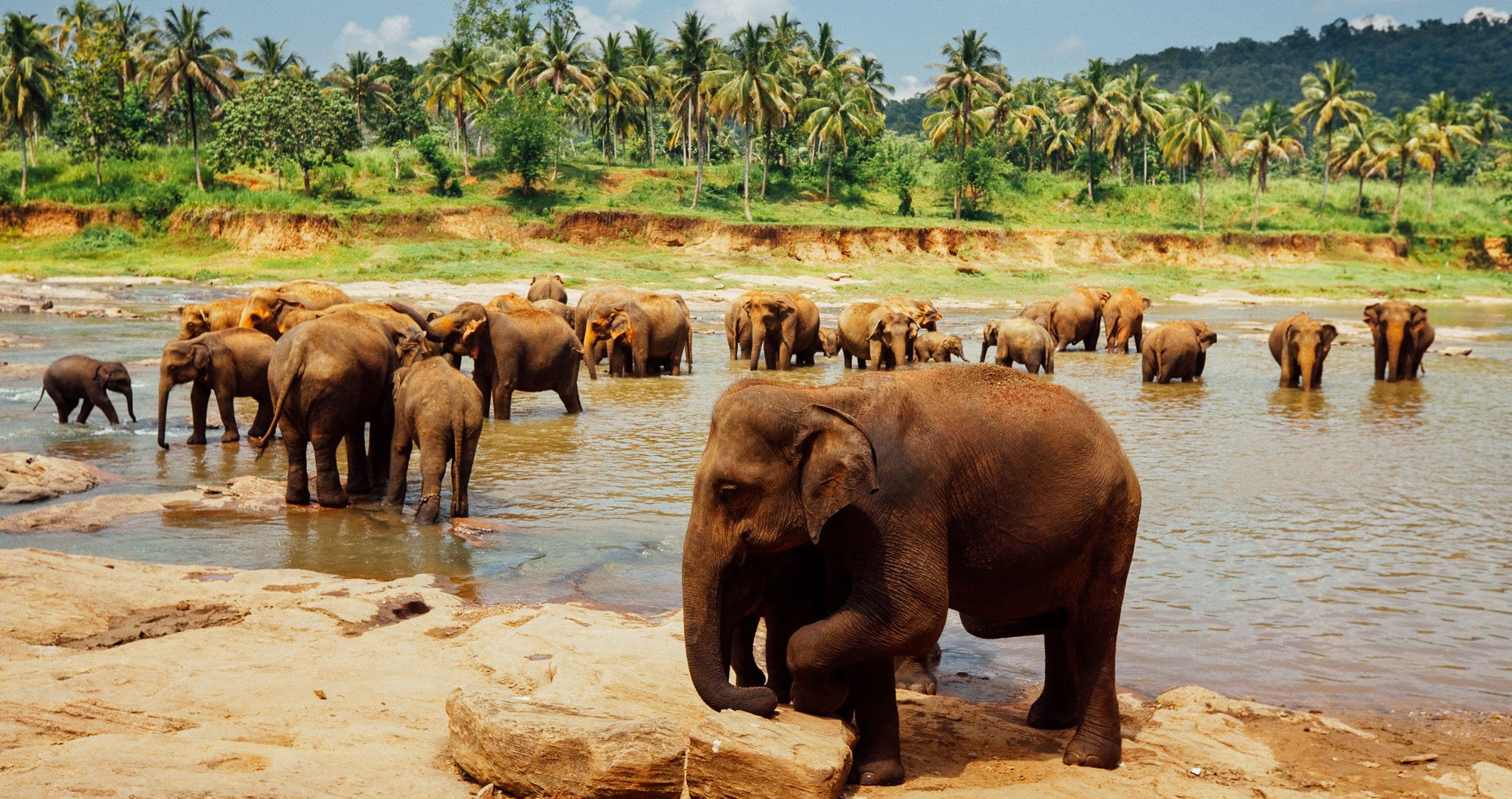 Elephants cooling down in a stream, Sri Lanka