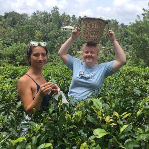 Sir Roger Manwood volunteer at the tea plantation in Sri Lanka