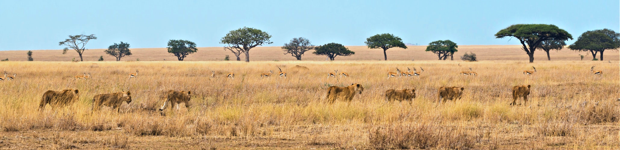 Slider South Africa lion and springbok British and Irish Lions 2021